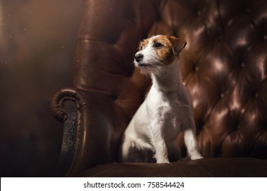 white Jack Russell Terrier dog sitting on a brown chair