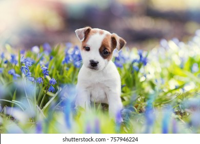 white Jack Russell Terrier puppy sitting among blue flowers in summer