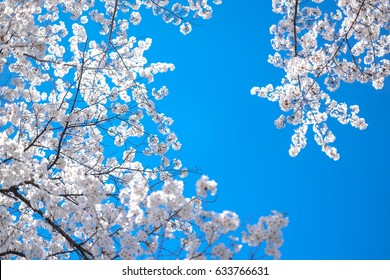 White Japan Cherry Blossom Uplook