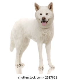 White japanese akita standing in front of white background