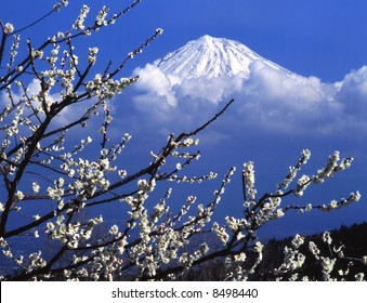 The white Japanese apricot blossom and  Mt fuji