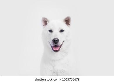 white japanese beautyful dog young champion kishu inu