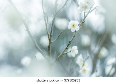 white Japanese plum