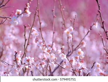 White japanese plum blossoms in early spring
