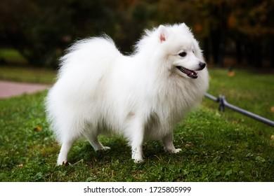 White Japanese Pomeranian walks in the Park on the grass