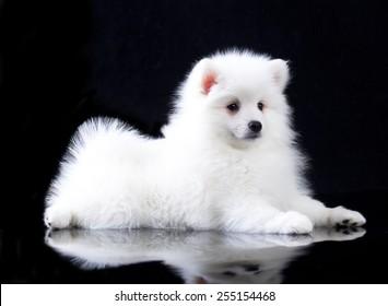 white Japanese Spitz
