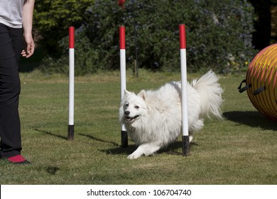 White Japanese Spitz dog learning how to train weave poles to be able to compete in agility competition.