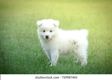 1 086 Japanese Spitz Japanese Spitz Puppy Images Royalty Free