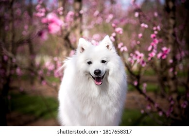 A white Japanese Spitz dog standing among flowers