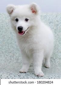 White Japanese Spitz puppy dog