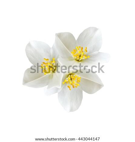 White jasmine flower branch jasmine flowers stock photo edit now white jasmine flower branch of jasmine flowers isolated on white background spring flowers izmirmasajfo