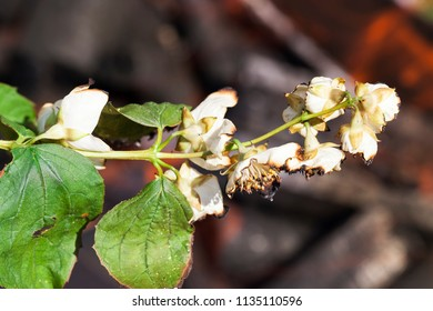 white jasmine flower during flowering, petals are sluggish and burned by fire and fire, closeup and details