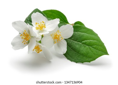 White jasmine flower with green leaf isolated on white background