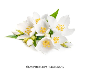white jasmine flower with leaf isolated on white background