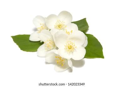 White jasmine flower on a white background
