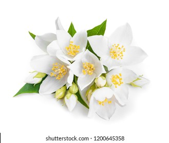 white jasmine flowers closeup. Isolated on white background