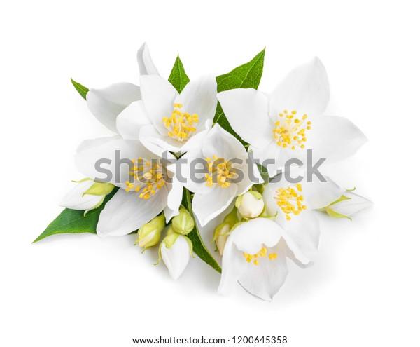 белые жасмин цветы крупным планом. Изолированные на белом фоне