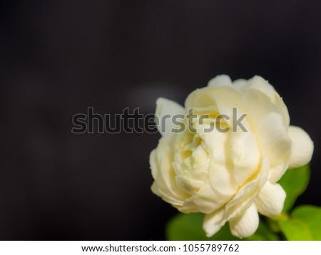 White jasmine white flowers fragrance flower stock photo edit now white jasmine white flowers fragrance flower mightylinksfo