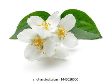 White jasmine flowers with green leaf isolated on white background