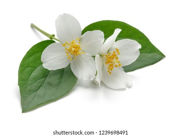 White jasmine flowers with green leaves isolated on white background