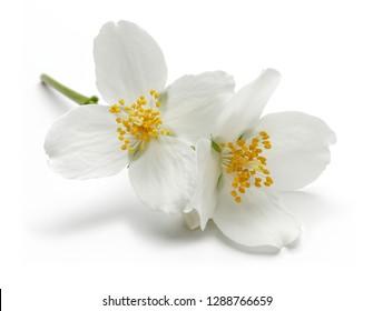 White jasmine flowers isolated on white background