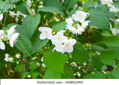 White jasmine flowers on a bush