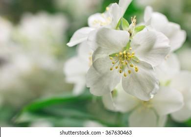 White jasmine flowers on a bush macro