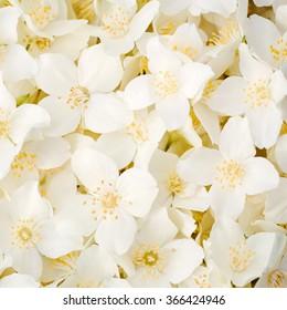White Jasmine flowers seamless background. Close up image.