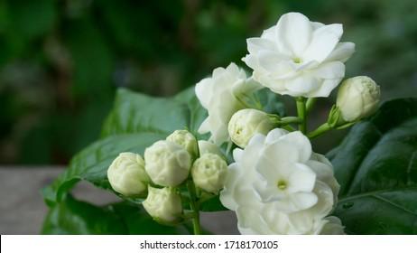 White jasmine petals overlapping,Thai jasmine,White double petal jasmine petals