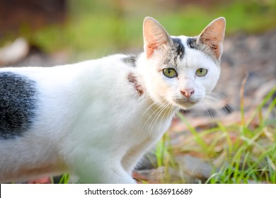 White Javanese cat with a blur background, there is a wound in the neck from a fight
