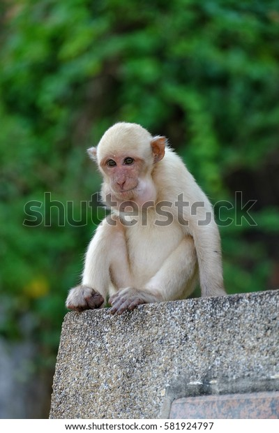 White juvenile monkey sitting on the wall with green background in Kanchanaburi, Thailand