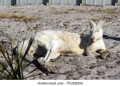 White Kangaroos, Albany, WA, Australia