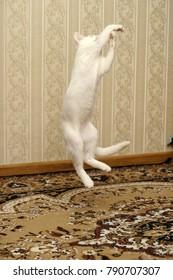 white kitten albino playing jumping