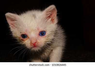 White kitten with different eyes