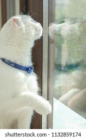 White kitten in front of window and its reflection