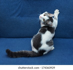 White kitten with gray spots sharpening its claws on blue sofa