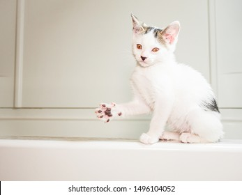 White kitten looking at camera with his right paw out, toes spread, jazz hand!