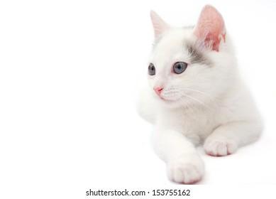 White kitten lying on the white background