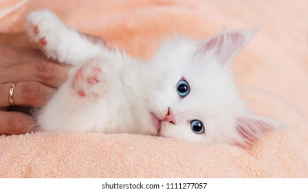 white kitten Maine Coon lies comfortably on Blankets