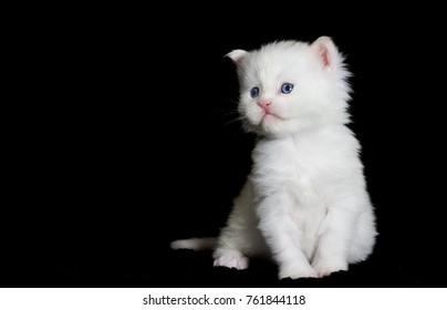 white kitten maine coon looks at a dark background