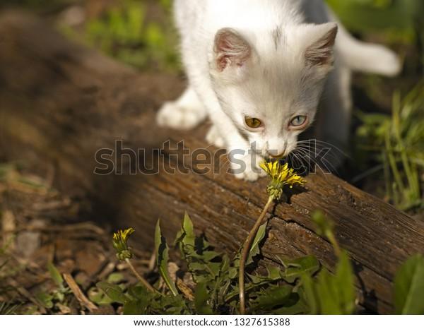 white-kitten-multicolored-eyes-smells-60