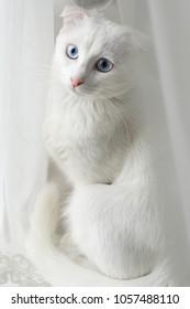 White kitten on white background