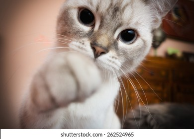white kitten with paw outstretched Camera
