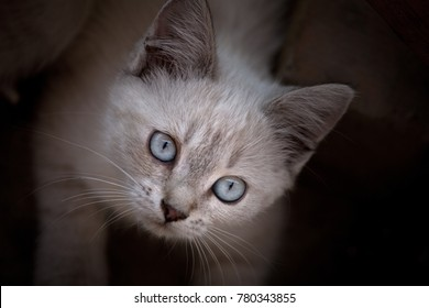 White kitten portrait