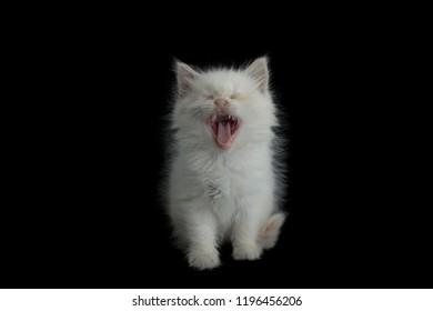 white kitten yawning