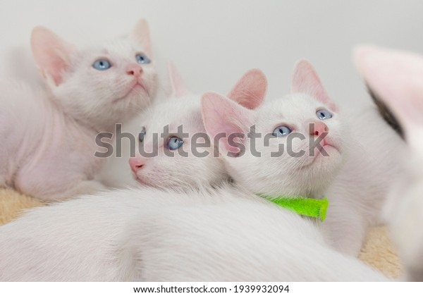 Gatitos blancos con ojos azules y gatitos negros khao hombres jugando con sus hermanos