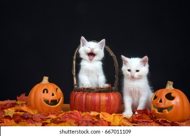 White kittens, one in basket looks like laughing hysterically, one sitting next to basket looking down towards leaves, jack o lantern style pumpkins on each side, black background. Autumn Halloween