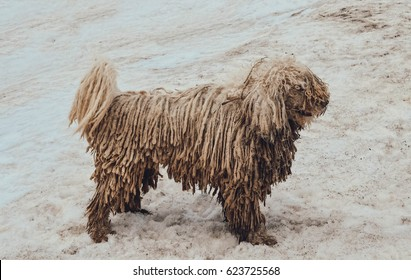 white Komondor dog in the mountains