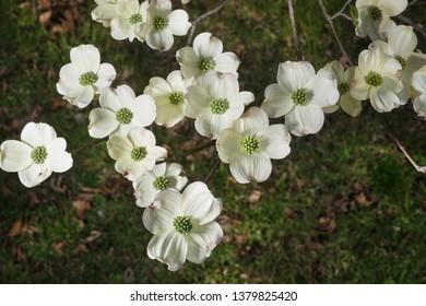 White Kousa Dogwood