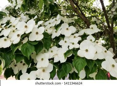 White Kousa Dogwood flowering trees